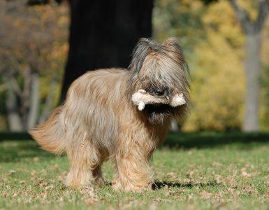 chien berger de brie