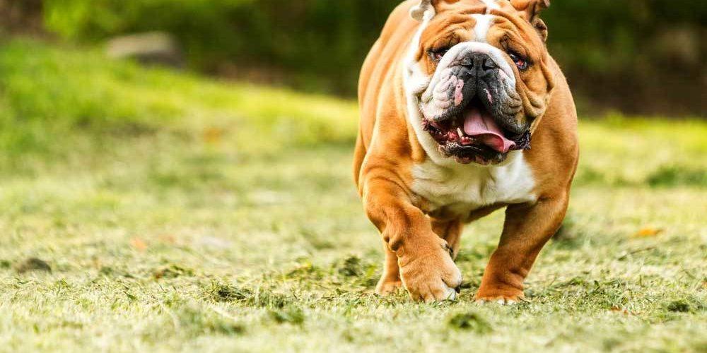 apprentissage du bulldog